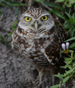 Burrowing Owl, Cape Coral, Florida, January 26, 2011 (47)