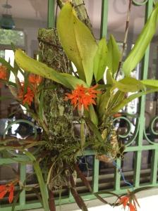 A Nita Orchid