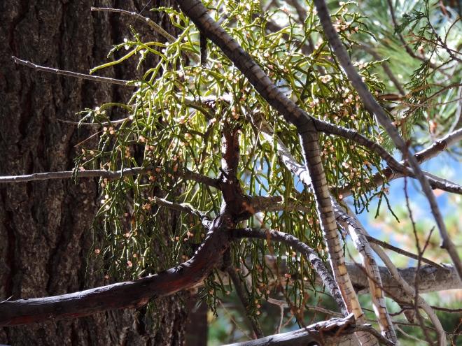 Mistletoe?